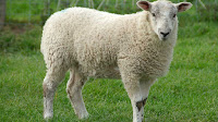 Cute Sheep photos_Ovis ammon