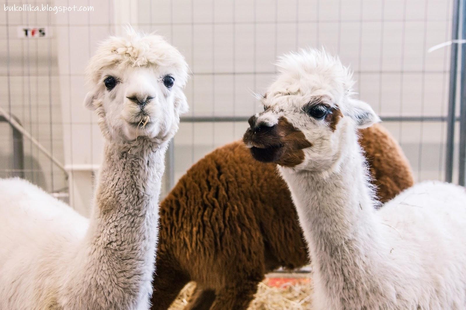 zoopark lublin, targi lublin, wystawa zwierzat, lublin, koty rasowe, wystawa psow, zwierzeta egzotyczne, zoopark 2019, bukollika blog, bukolika