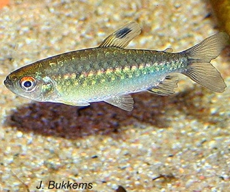 Niger Tetra, Arnoldichthys Spilopterus (Boulenger, 1909)