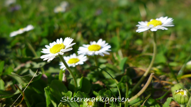 Gänseblümchen-Steiermarkgarten