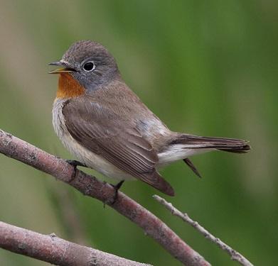 3 Jenis Burung Sikatan Mancanegara Untuk Masteran