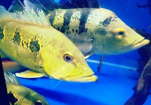 17 Jenis Ikan Predator Air Tawar Dan Harganya Lengkap Hobinatang