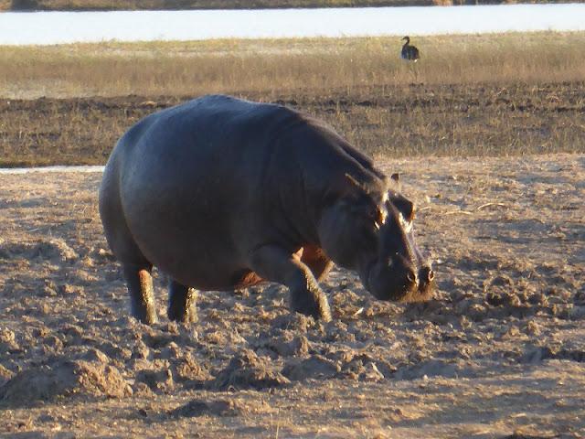 Hipopótamo hembra