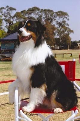 Black Tri Australian Shepherd