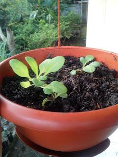 Tanaman Petunia 7 weeks