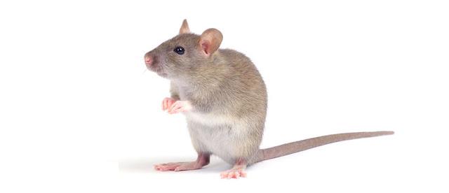 Soñar con ratas, soñar con un raton, soñar con ratones pequeños, soñar con ratones blancos, soñar con ratones muertos, soñar con ratas muertas.