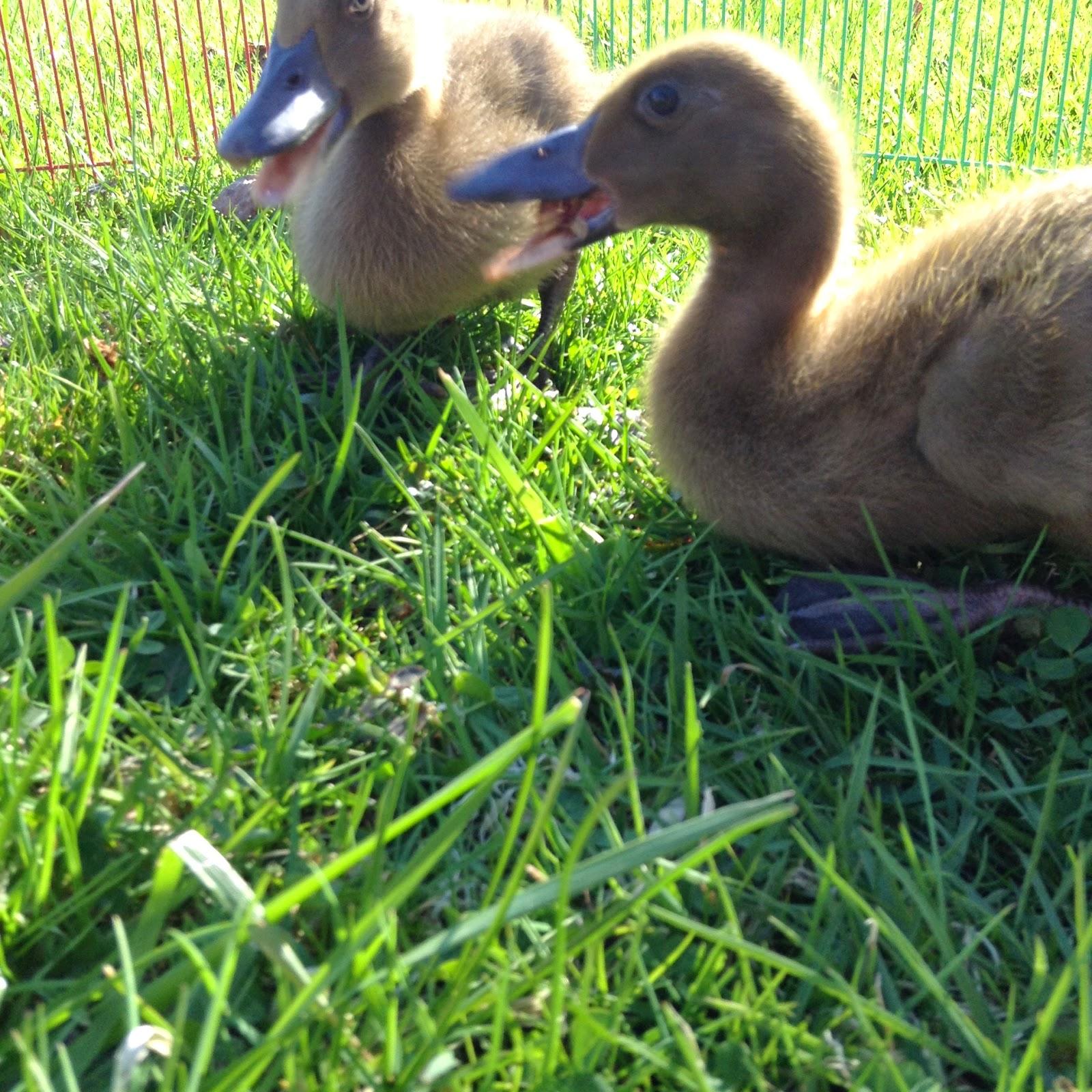 Raising Ducklings To Ducks