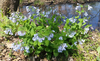 Future Plants by Randy Stewart Mertensia Bluebell