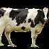Gambar PNG sapi transparant Background