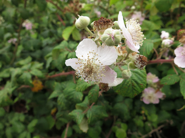 Blackberry flowers in July hedgerow.