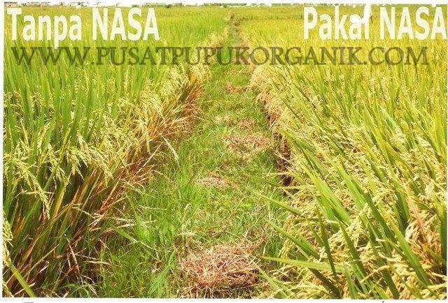 sukses tanam padi sawah, penyakit tanaman padi