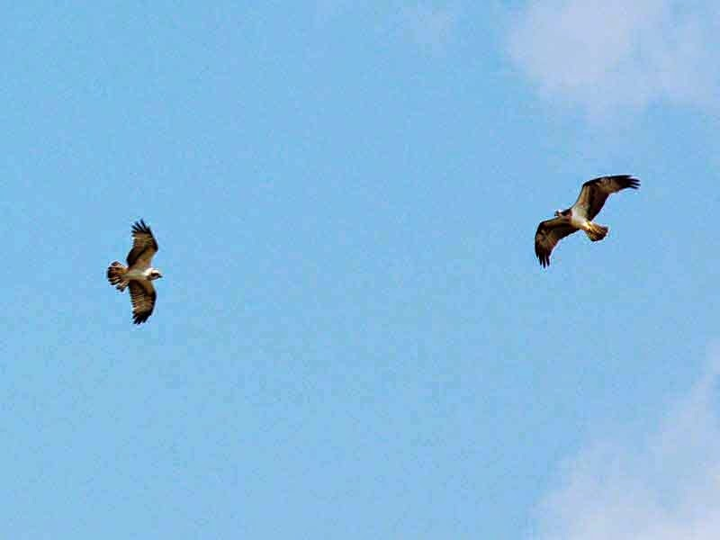 birds, osprey,hunting