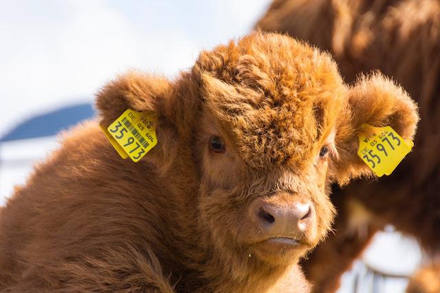 Schottische Hochlandrinder auf Langeoog