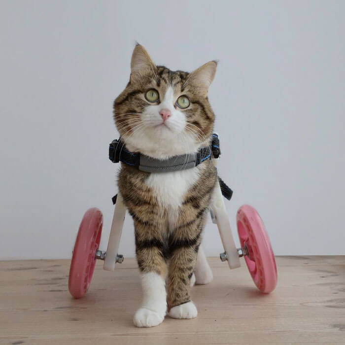 Cute Cat With A Mobility Problem Amazes The World With Funny Facial Expressions