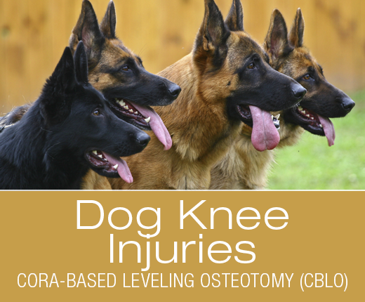 Dog Knee Injuries: Cora-based Leveling Osteotomy (CBLO) Repair