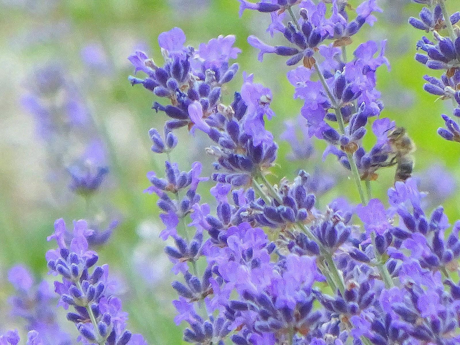 Blaue Blumen Juli August