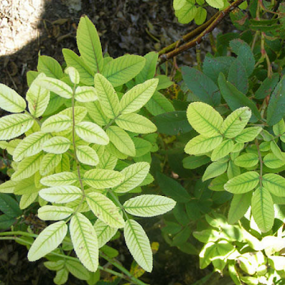 thiếu vi lượng ở cây hoa hồng gây ra bệnh vàng lá