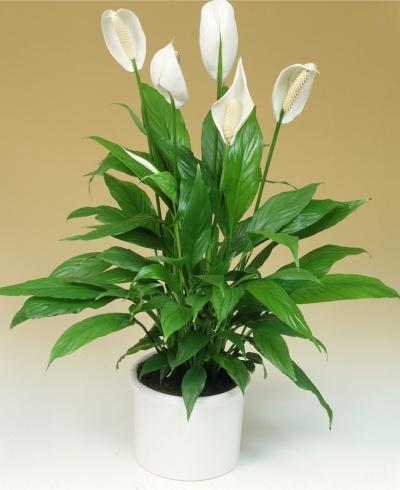 Liliacul pacii - o alta planta care purifica aerul din camera