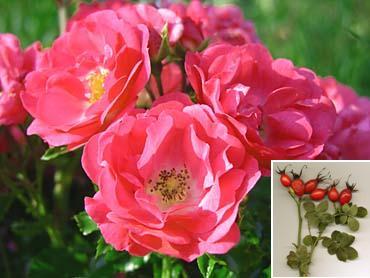 planta Rosa Mosqueta con sus flores
