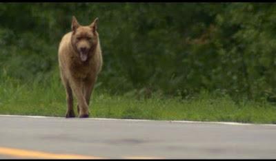 Κάθε μέρα αυτός ο σκύλος περπατά 6,5 χλμ. - Όταν μάθετε το λόγο, θα ενθουσιαστείτε!