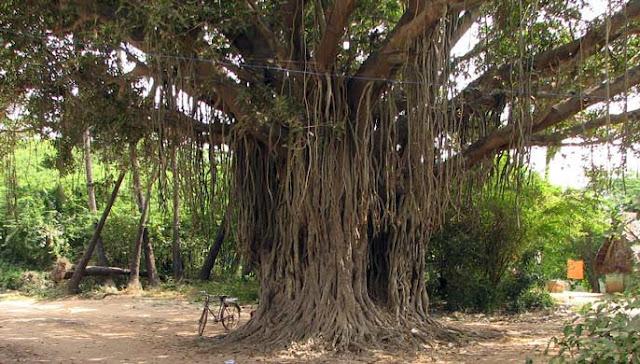 pohon bringin