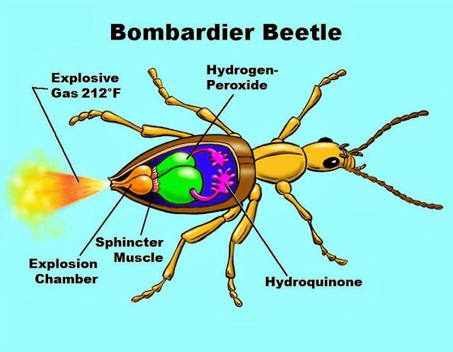 Evrim yalanını bombardımana tutan böcek: Bombardıman Böceği