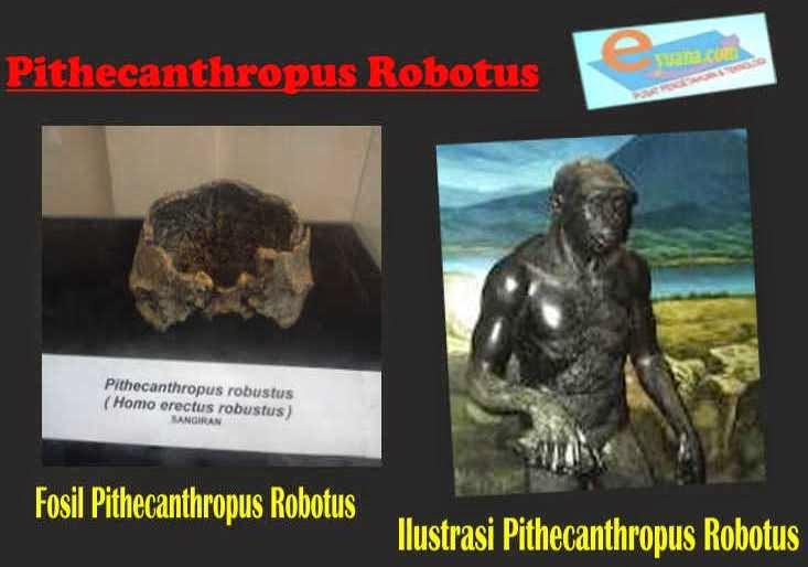 Gambar Manusia Purba Pithecanthropus Robotus