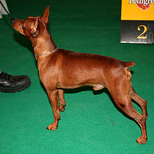 Red Miniature Pinscher dog croped tail