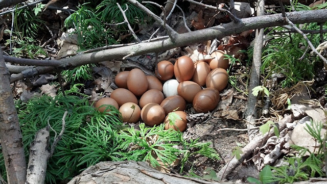 hidden guinea eggs