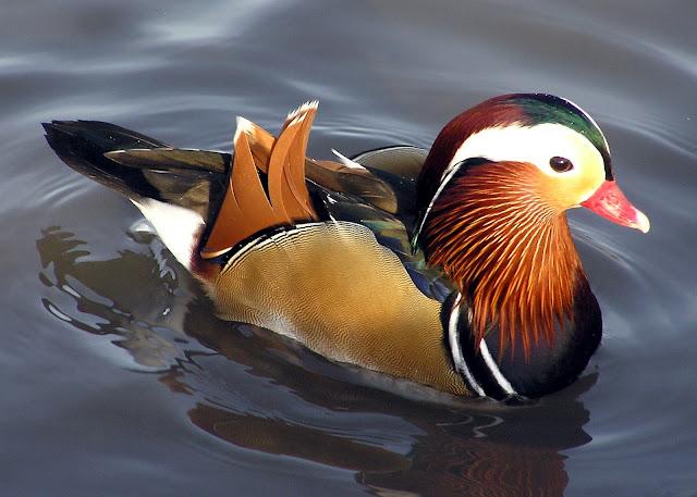 """المندرين """"""""""""اليوسفي """"""""""""لله Mandarin.duck.arp.jpg"""