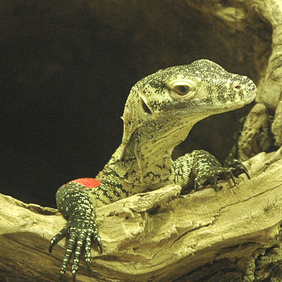 How dangerous is the Komodo dragon? Why is it considered ... |Cute Baby Komodo Dragons