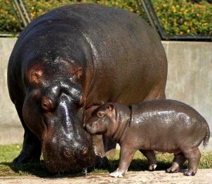 Foto de hipopótamos (madre e hijo)