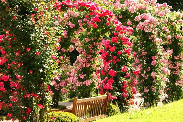 Most Beautiful Arches Climbing Roses Garden