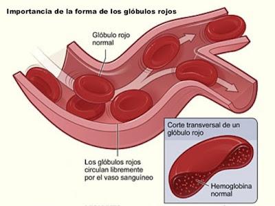Glóbulos esenciales vida