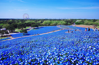 Salah Satu Taman Bunga Terkenal Di Jepang