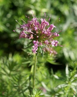 Crucianelle à styles soudés - Phuopsis stylosa - Crucianella stylosa - Phuopsis à long style - Phuopsis à styles soudés
