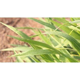 gambar daun rumput Brachiaria Ruziziensis