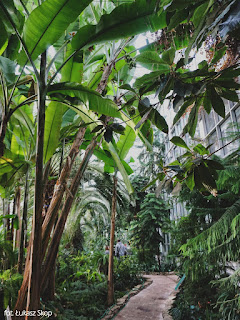 banany rosnące w palmiarni