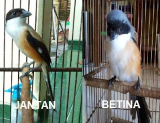 cara membedakan burung cendet jantan dan betina