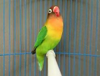 Manpaat Dan Harga Terbaru Vitamin Penggacor Burung Lovebird Saat Ini Terlengkap
