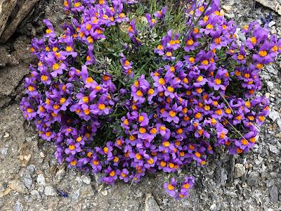 [Plantaginaceae] Linaria alpina – Alpine Toadflax (Linajola alpina).
