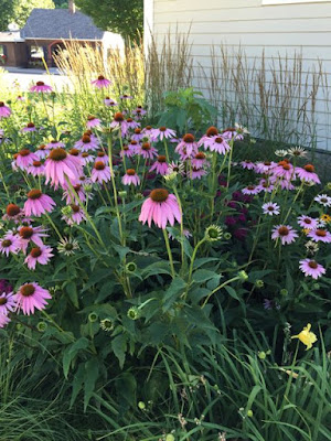 Eastern Purple Coneflowers?
