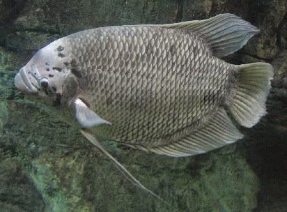 Umpan Jitu Mancing Ikan Gurame Tips Dan Trik Paling Ampuh