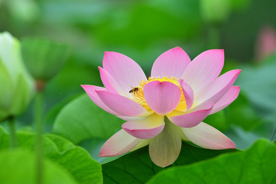Hermosa Flor De Loto En Los Pantanos De Indonesia Wallpaper Hd