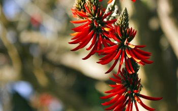 Wallpaper: Flame Tree Flower