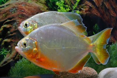 Klasifikasi Ilmiah Ikan Piranha