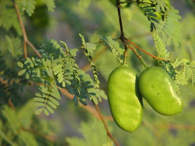 Guayacán Caesalpinia paraguariensis
