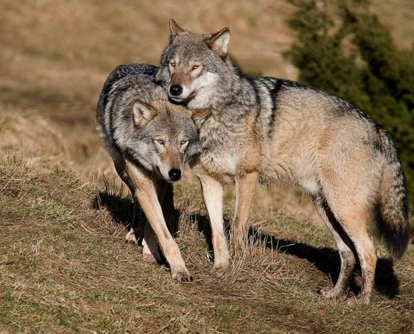 Eurasian Wolf Animal Unique