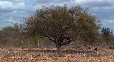 Em Pernambuco, umbuzeiros morrem com a seca e safra do umbu é afetada no Sertão
