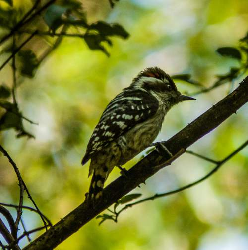Indian birds - Image of Brown-capped pygmy woodpecker - Picoides nanus